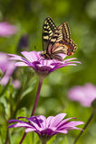 Swallowtail butterfly in a purple daisy field Stock Photo