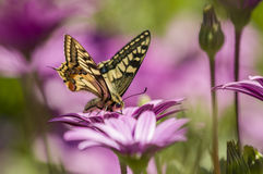 Swallowtail butterfly in a purple daisy field Royalty Free Stock Photo