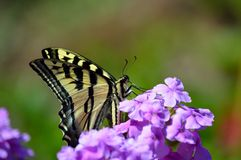 Swallowtail butterfly on purple flower feeding Stock Photos