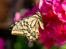 Swallowtail butterfly on the red flower Phlox Stock Images
