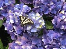 Swallowtail Butterfly on Hydrangea Flower. Swallowtail butterfly resting on the flowers of a blue Hydrangea bush royalty free stock photos