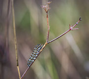 Swallowtail butterfly`s caterpillar Papilio machaon in a branch on a rainy day Royalty Free Stock Image
