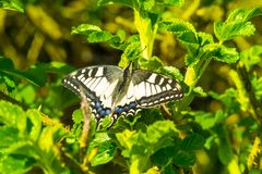 Swallowtail Butterfly sits on the green bush. In a sunny day stock photos