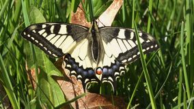 Swallowtail Butterfly sits in the green grass stock video