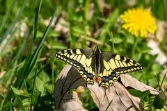 Swallowtail Butterfly sits on the old leaf. In a sunny day royalty free stock photos