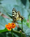 Swallowtail butterfly sitting on a flower, green blurred background. Sunny summer day stock image