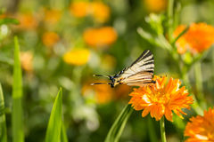 Swallowtail butterfly sitting on marigold flower Stock Images