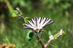 Swallowtail butterfly on the sprig. Old World swallowtail. Papilio Machaon Stock Photos