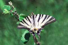 Swallowtail butterfly on the sprig. Old World swallowtail. Papilio Machaon. Black and white butterfly on a rich dark green background Royalty Free Stock Photography