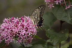 Swallowtail butterfly sucking nectar from flower Royalty Free Stock Photo