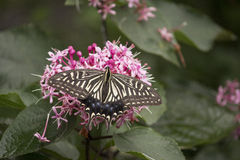 Swallowtail butterfly sucking nectar from flower Royalty Free Stock Photography