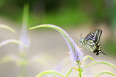 Swallowtail butterfly and flower. Swallowtail butterfly sucking nectar from flower royalty free stock photography