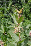 A swallowtail butterfly on a swamp milkweed flower. A swallowtail butterfly on a swamp milkweed flower in the garden stock images