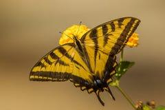 Swallowtail Butterfly. Western Tiger Swallowtail Butterfly Feeding On Lantana Flower Stock Photos