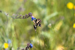 Swallowtail  butterfly on a wildflower Royalty Free Stock Photos