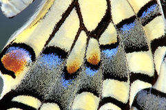Swallowtail Butterfly wing, Up close Royalty Free Stock Images