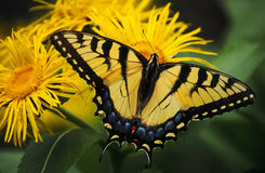 Swallowtail Butterfly On Yellow Asters Royalty Free Stock Photo