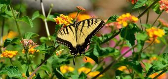 Swallowtail butterfly. Yellow and black swallowtail butterfly in a floral garden background stock image