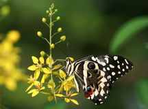 Swallowtail Butterfly on Yellow Flower. Standing and feeding with green background royalty free stock photography
