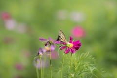 Swallowtail butterflye na kosmosie obraz royalty free