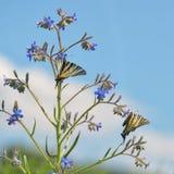 Swallowtail Butterlflies zdjęcie royalty free