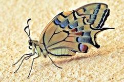 Swallowtail Butterly: Emerso recentemente/chocado fotos de stock royalty free