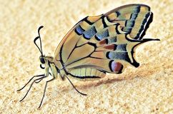 Swallowtail Butterly: Niedawno Wyłaniający się, Klujący się/ zdjęcia royalty free