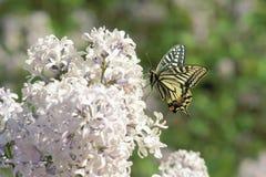 Swallowtail buttrefly fotos de stock