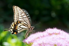 Swallowtail buttrefly Stock Photo