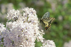 Swallowtail buttrefly Stock Photos
