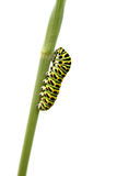 Swallowtail caterpillar Royalty Free Stock Photos
