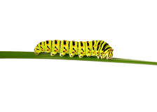 Swallowtail caterpillar Stock Image