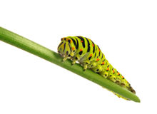 Swallowtail caterpillar Royalty Free Stock Images