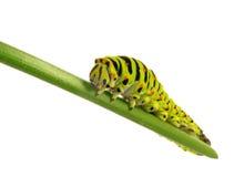 Swallowtail caterpillar Royalty Free Stock Images