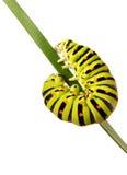 Swallowtail caterpillar Stock Images