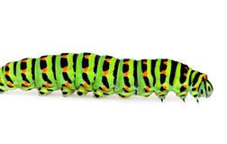Swallowtail caterpillar Royalty Free Stock Photo