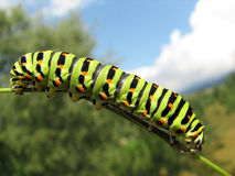 Swallowtail Caterpillar Zdjęcia Stock