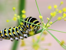 Swallowtail caterpillar. 4th instar black swallowtail caterpillar on dill plant Stock Images