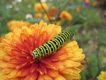 Swallowtail caterpillar. On orange chrysanthemum flower Stock Image