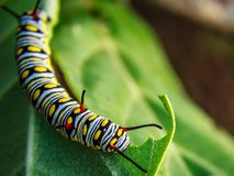 SWALLOWTAIL CATERPILLAR. A beautiful colorful CATERPILLAR in the bush. when It grows to a butterfly, a beautiful butterfly comes from it Stock Image