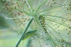 Swallowtail Caterpillar and Chrysalis Royalty Free Stock Photos