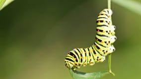 Swallowtail caterpillar eating stock video