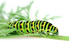 Swallowtail caterpillar Stock Photos