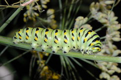 Swallowtail Caterpillar Royalty Free Stock Photo
