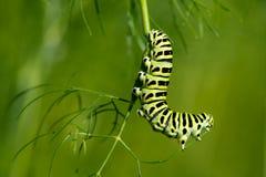 Swallowtail Caterpillar (Papilio machaon) royalty-vrije stock afbeeldingen