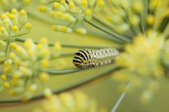 Swallowtail caterpillar or papilio machaon Stock Photos