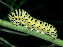 Swallowtail caterpillar, Papilio machaon on fennel Stock Image
