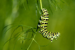 The Swallowtail Caterpillar (Papilio machaon). Caterpillar of the Old World Swallowtail (Papilio machaon) likes to eat the sprig of dill from the end, in Uppland royalty free stock images