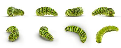 Swallowtail caterpillar or Papilio Machaon renders set from different angles on a white. 3D illustration. Swallowtail caterpillar or Papilio Machaon renders set Royalty Free Stock Image