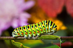 Swallowtail caterpillar Stock Image